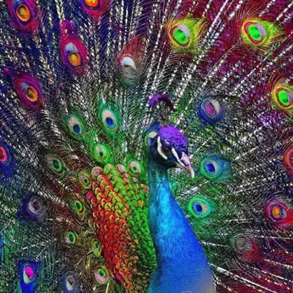 Diamond Painting Beautiful Peacock - OLOEE