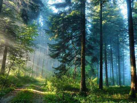 Green Forest Morning