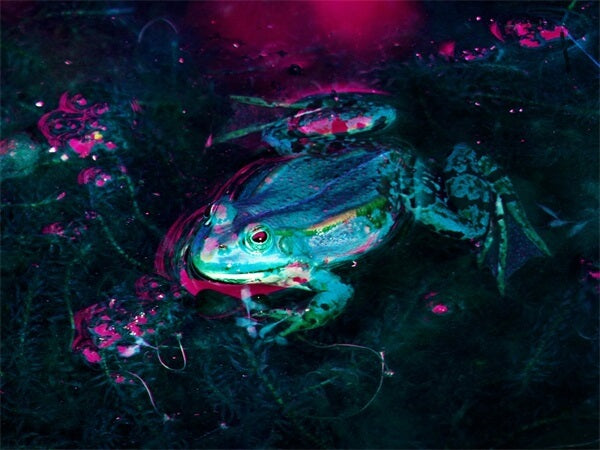 Diamond Painting Pond Frog - OLOEE