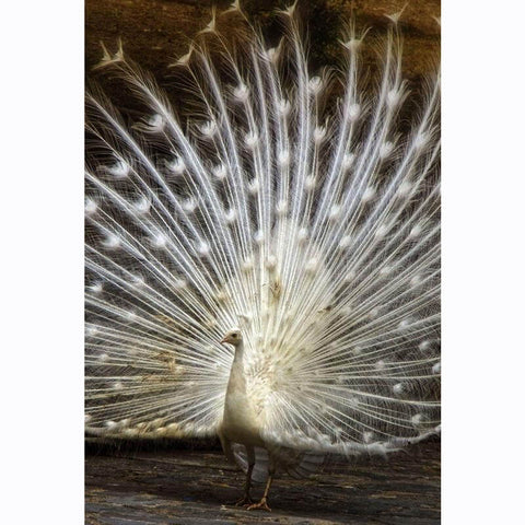 Diamond Painting Albino Peacock - OLOEE