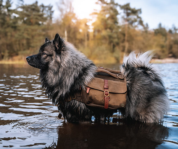 small dog wearing a backpack hiking