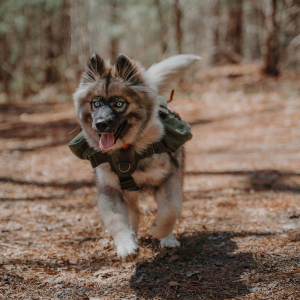 dog running on hiking trail with backpack