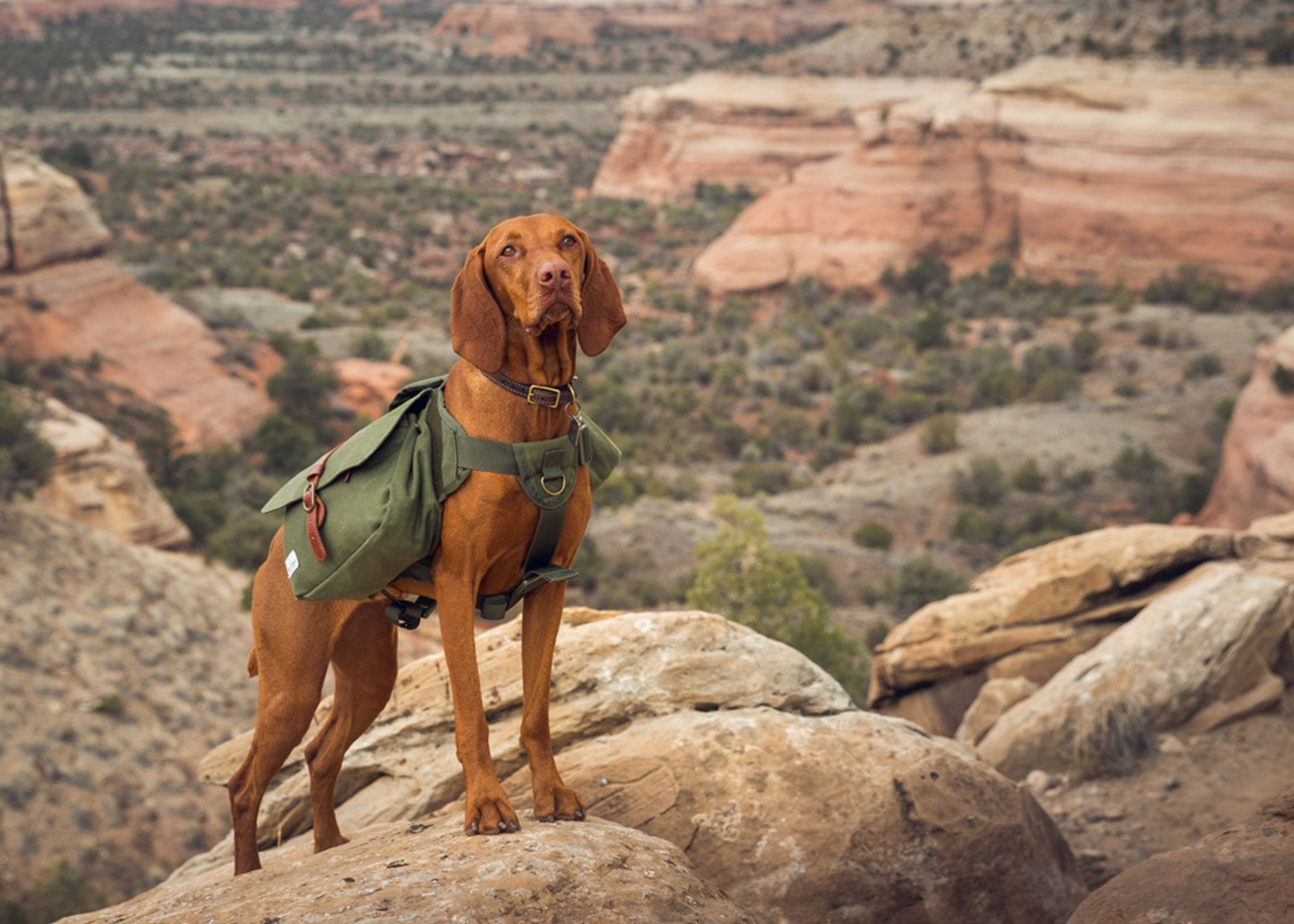 dog hiking in moab with backpack