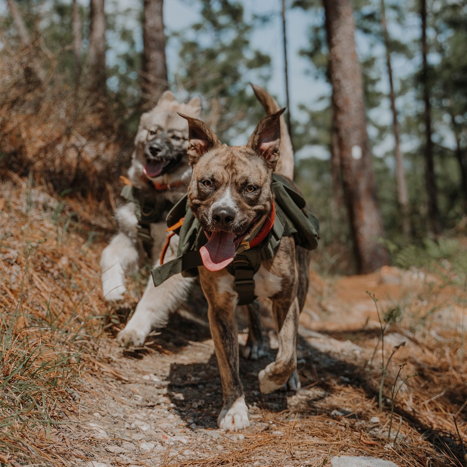 dogs running on hiking trail with backpack