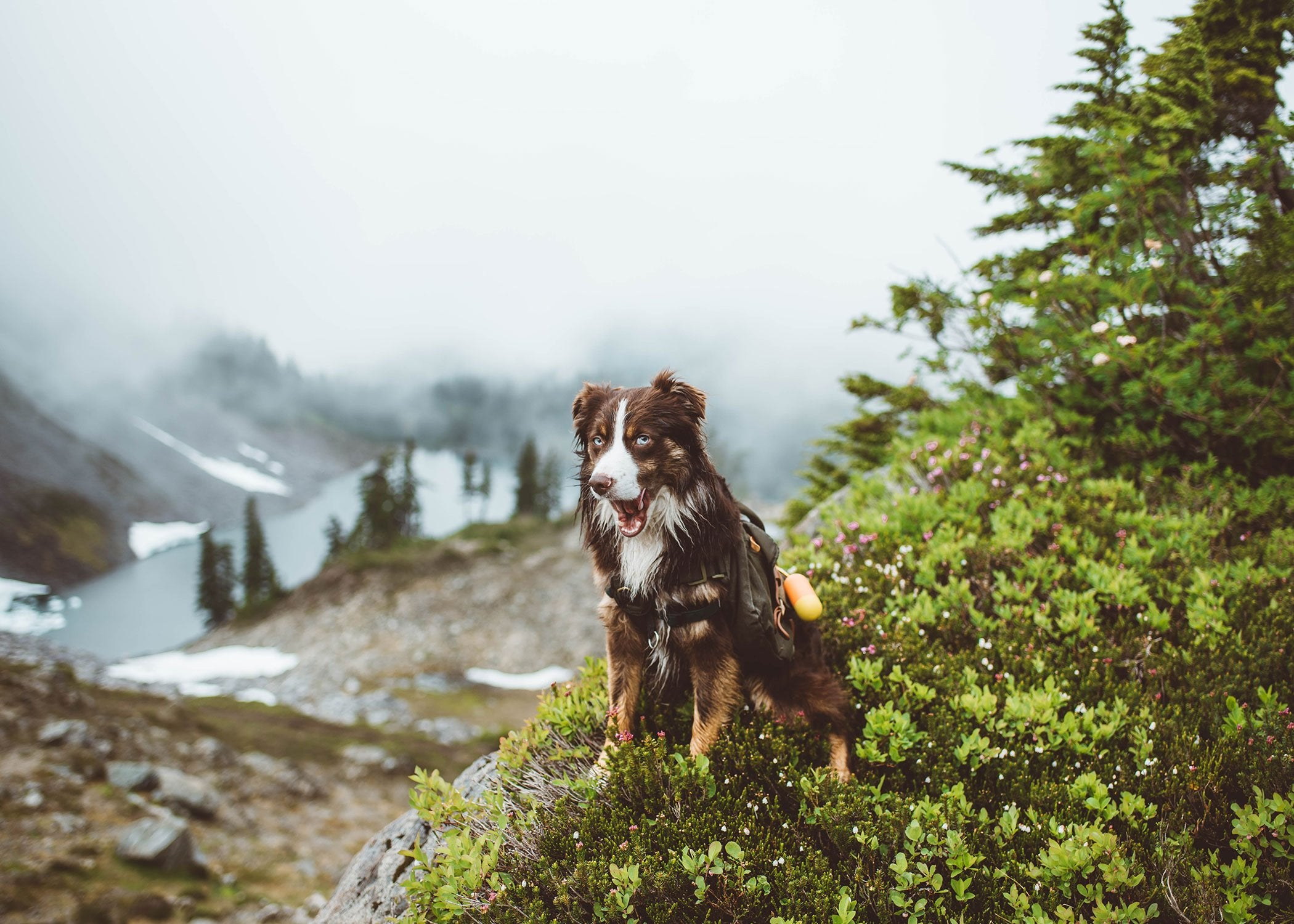 dog hiking with backpack outdoors