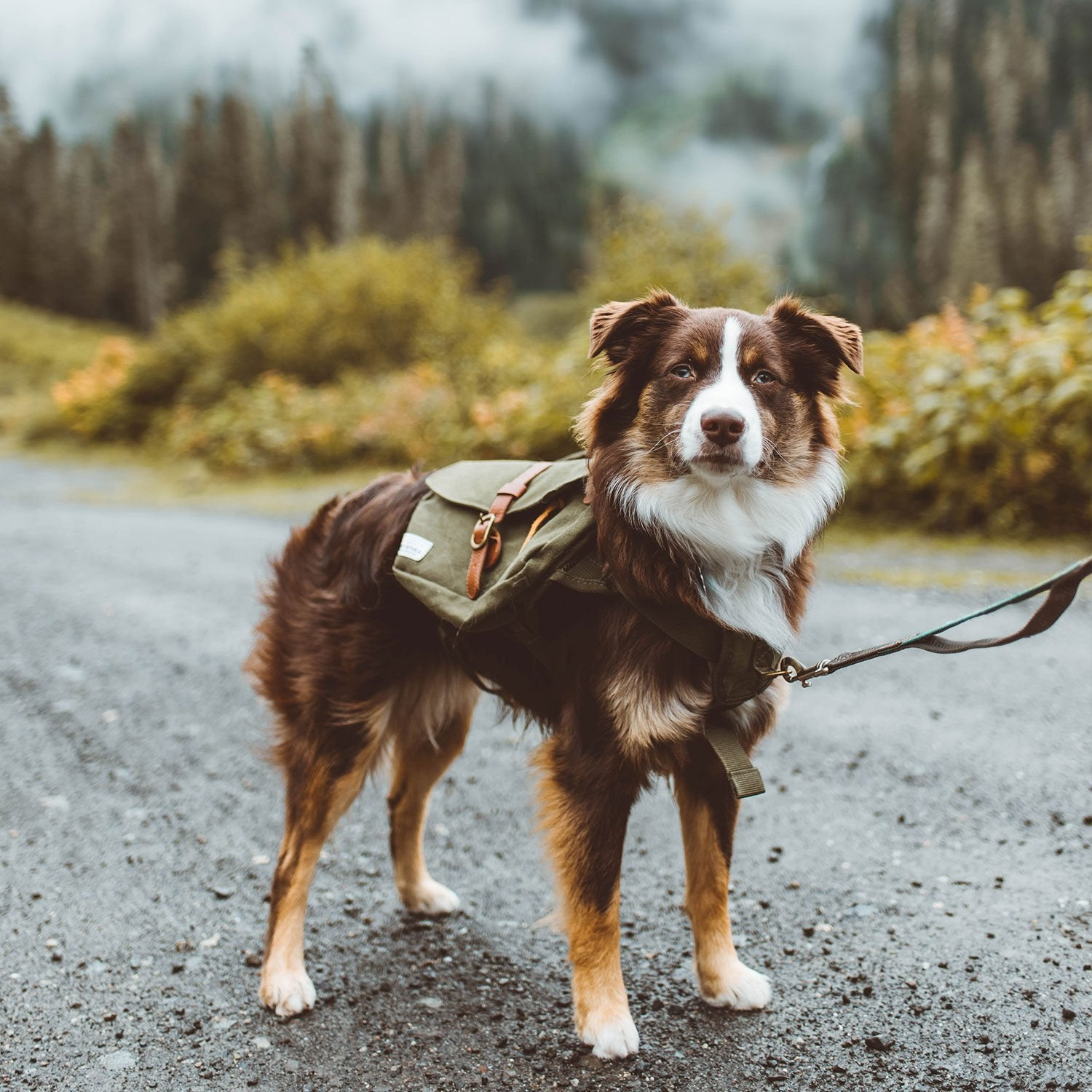 Mini Aussie Hiking with Backpack in the pacific north west
