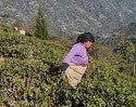 Pruning in Darjeeling