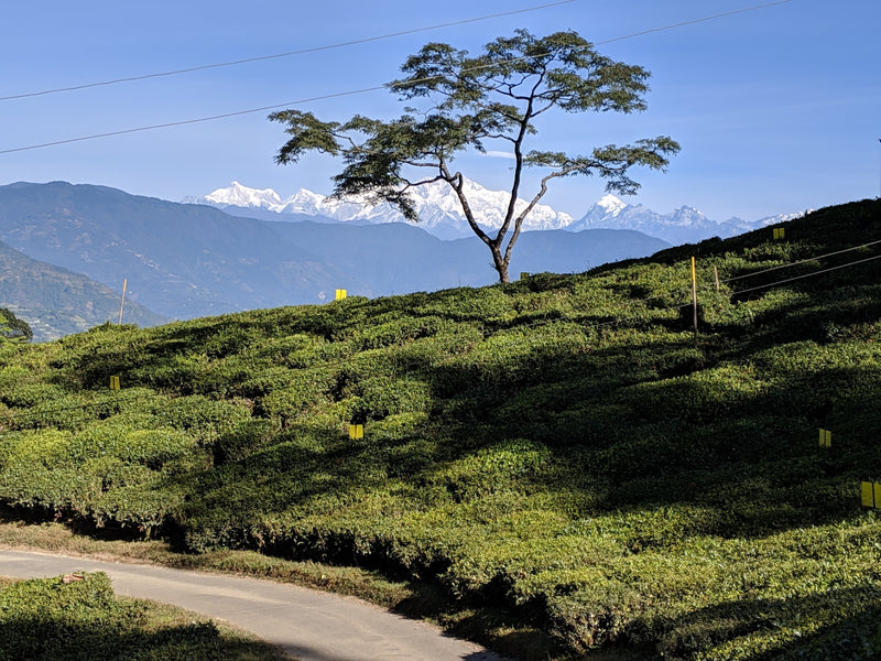 Why is Darjeeling tea famous? Top 5 things to know about Darjeeling tea gardens