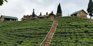 Nepal tea gardens view NO COPYRIGHT INFRINGEMENT INTENDED