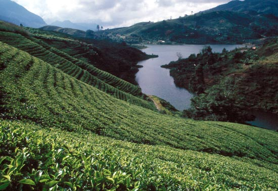 Sri lanka tea gardens aesthetic shot NO COPYRIGHT INFRINGEMENT INTENDED PLEASE CONTACT FOR CREDIT