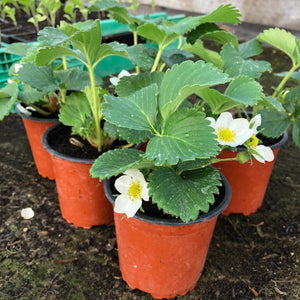Organic Strawberry Plants