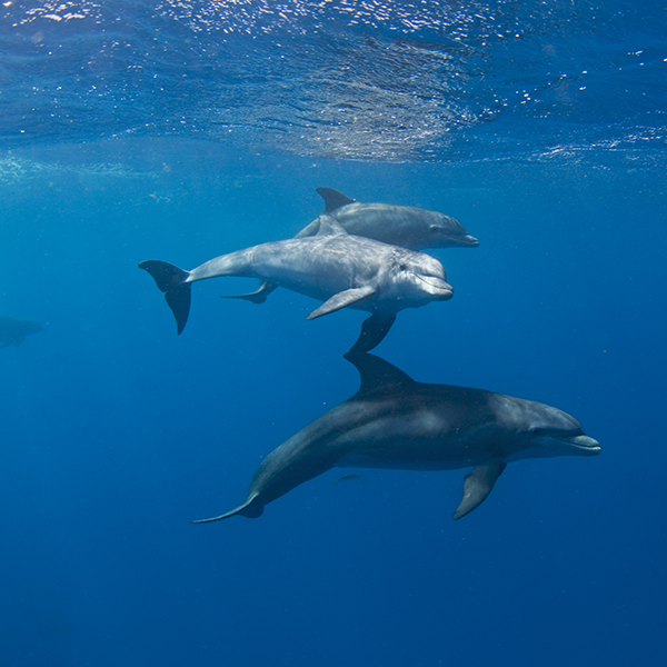 3 dolphins swimming through the ocean