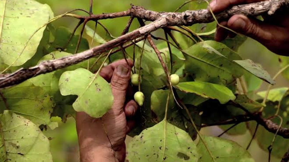 The unforgiving conditions in Australia produce super fruits like the Kakadu Plum which has the highest Vitamin C on the planet. From a young age, the native people are taught that beauty comes from the inside out - a sum of what you put in your bodies and the relationships you have with those around you.