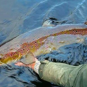 Salmo salar - The Atlantic Salmon