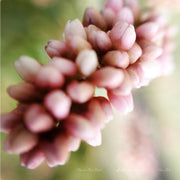 POWDER PINK PEARLS - SchimJolie