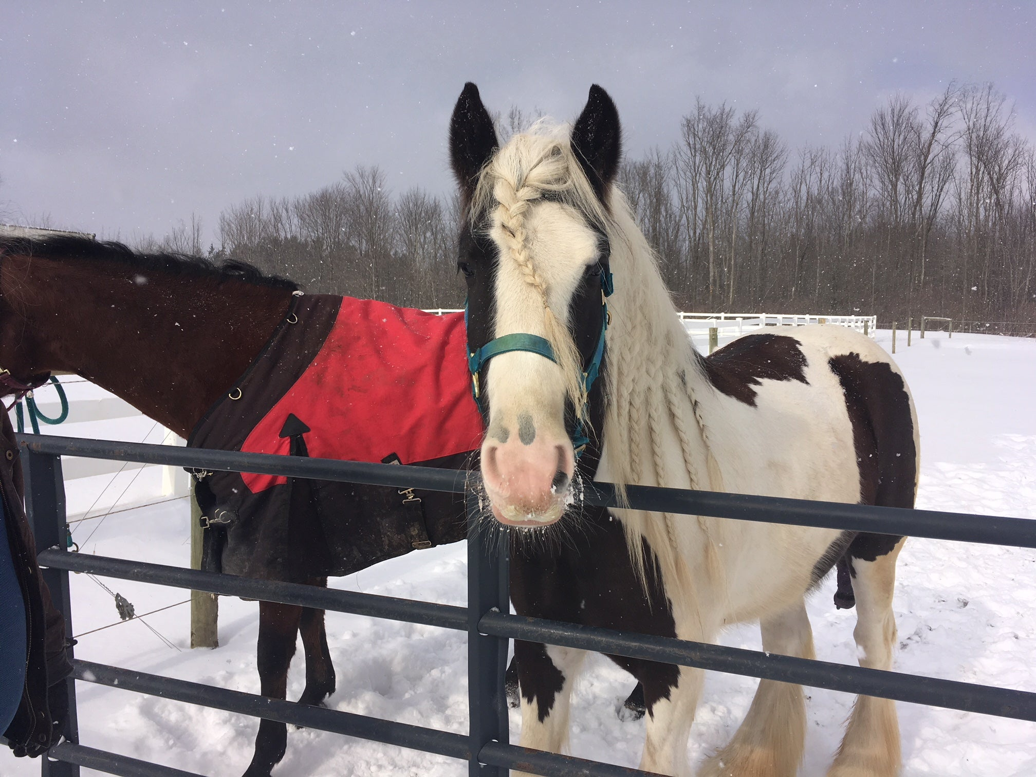 Gypsy Vanner Horse In Snow Equestrian Blog