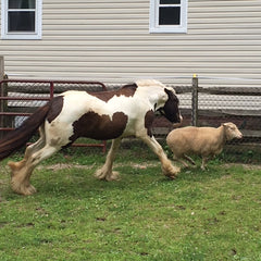 Gypsy Vanner chasing sheep
