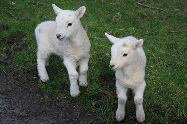 When is Lambing Season