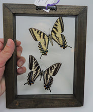 Pacific Northwest Swallowtails Frame -- Western and Pale