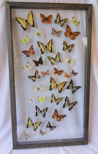 Custom Large Butterfly Frame