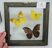 Small Morpho and Sulphur Collage Frame