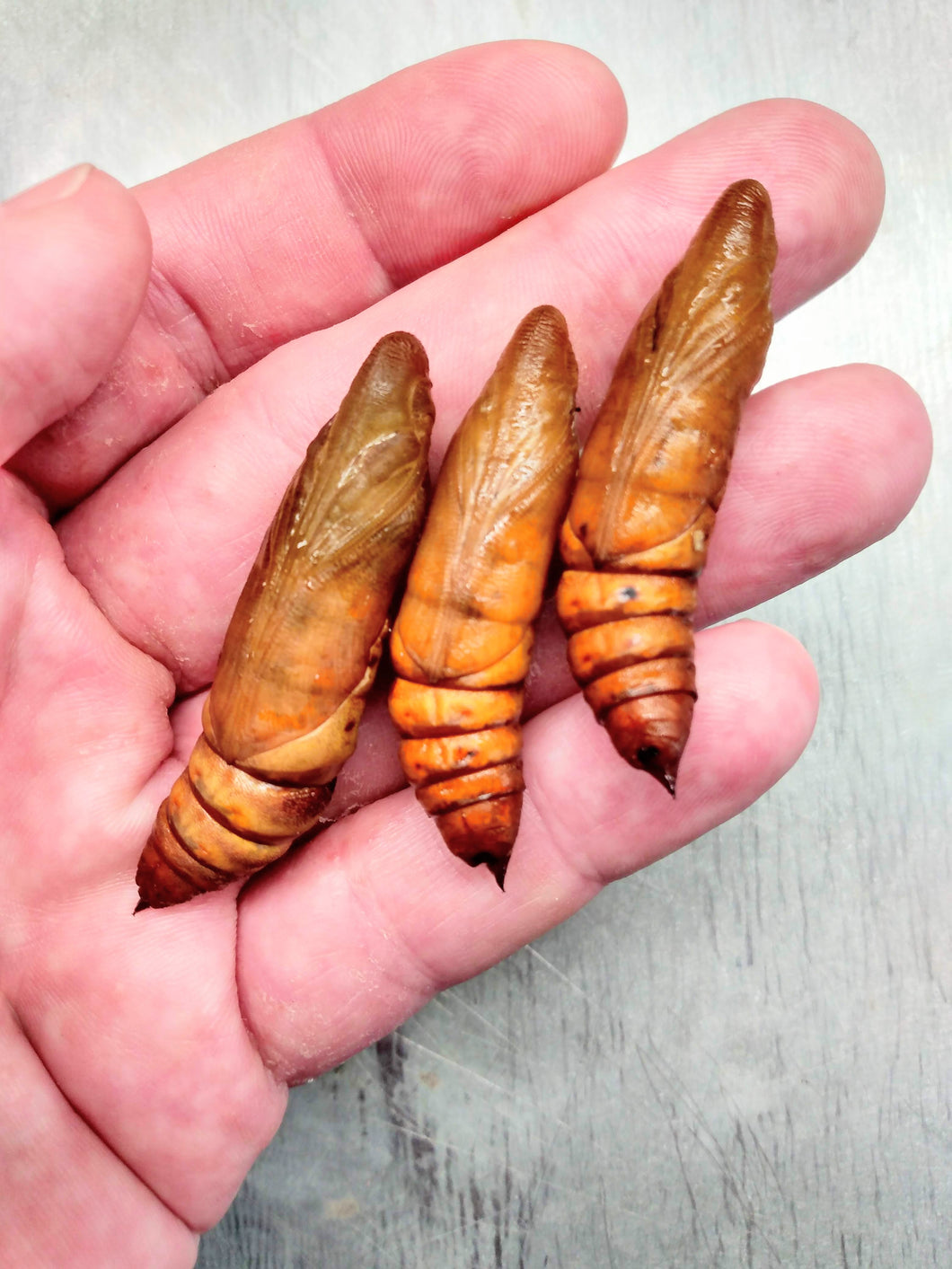 White Lined Sphinx Moth PUPAE -- LIVE Moth