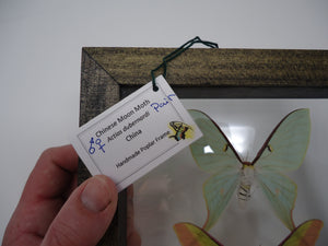 Chinese Moon Moth Frame