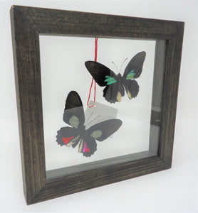 South American Cattle Heart Duo Frame