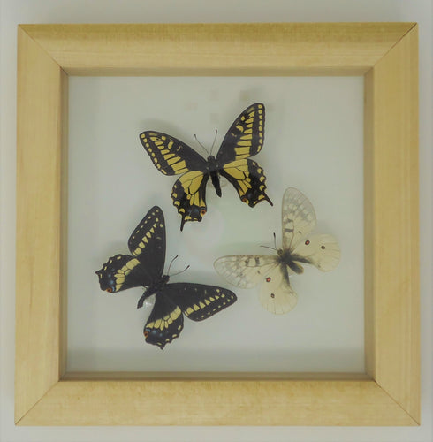 Small Pacific Northwest Swallowtails Frame