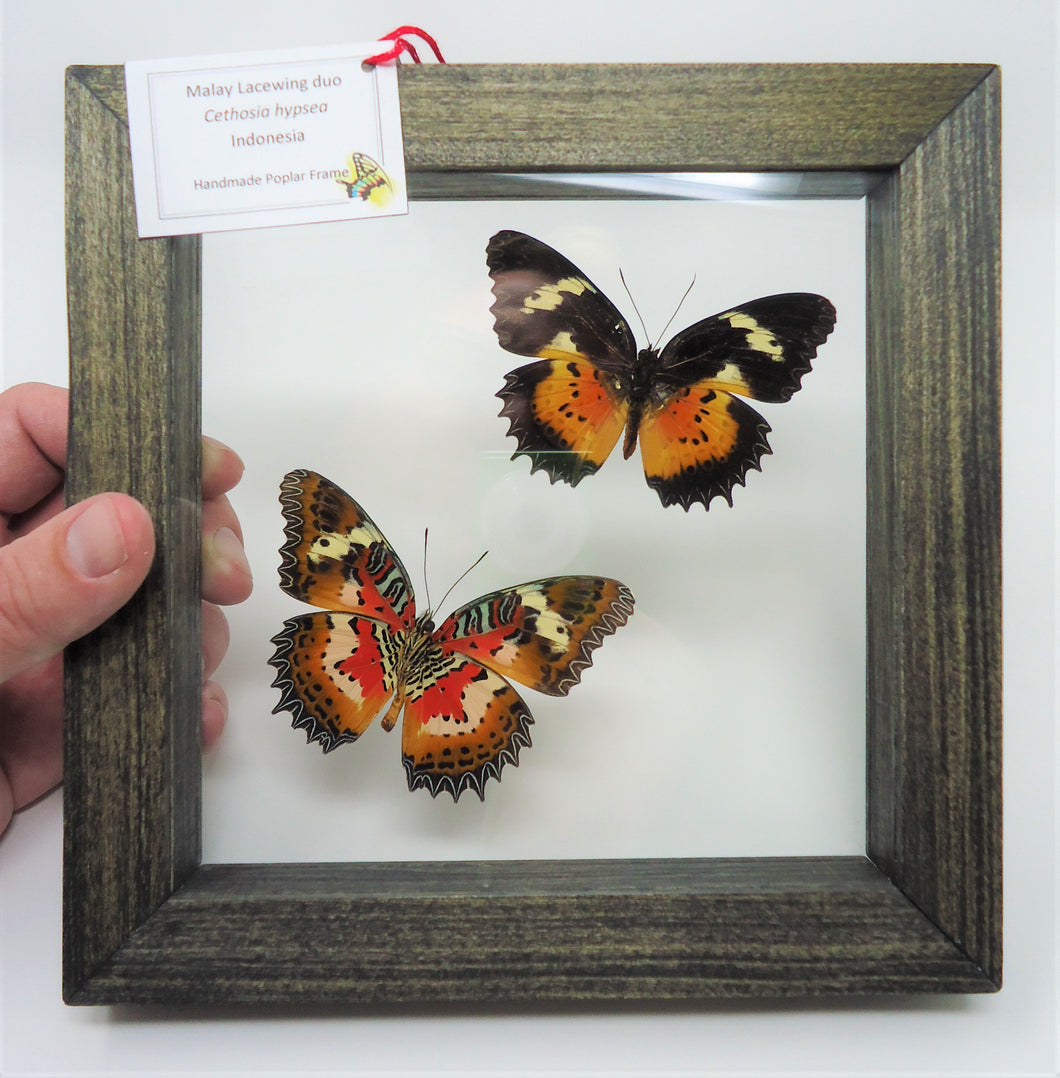 Malay Lacewing Duo Frame