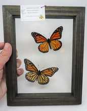 Monarch Butterfly Male-Female Pair Frame