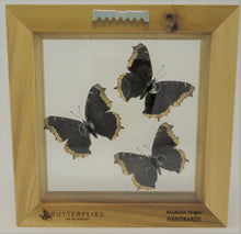 Mourning Cloak Butterfly Trio Frame