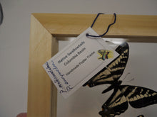 Large Pacific Northwest Swallowtails Frame