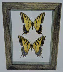 Two-Tailed Swallowtail Frame
