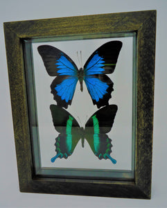 Indonesian Swallowtails Frame