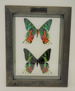 Madagascan Sunset Moth (Duo) Frame