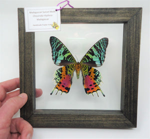 Madagascan Sunset Moth (Single Specimen) Frame