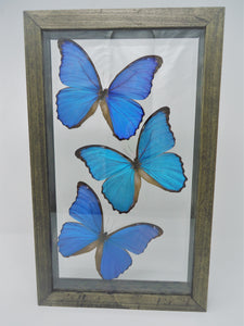 Triple Giant Blue Morpho Frame