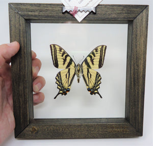Western Tiger Swallowtail Frame