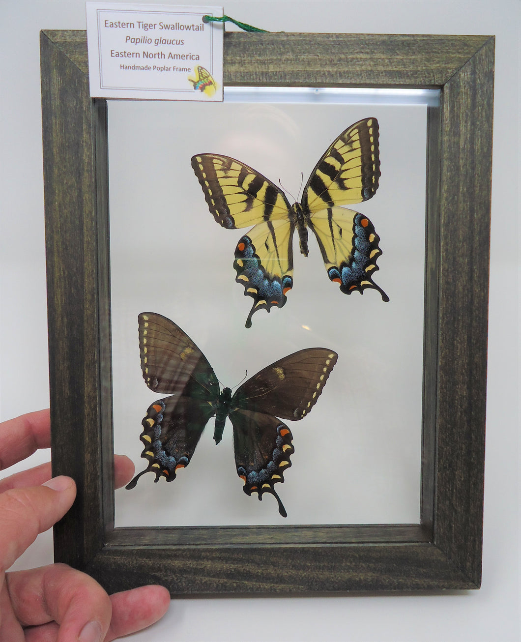 Eastern Tiger Swallowtail Females Frame -- Light and Dark forms