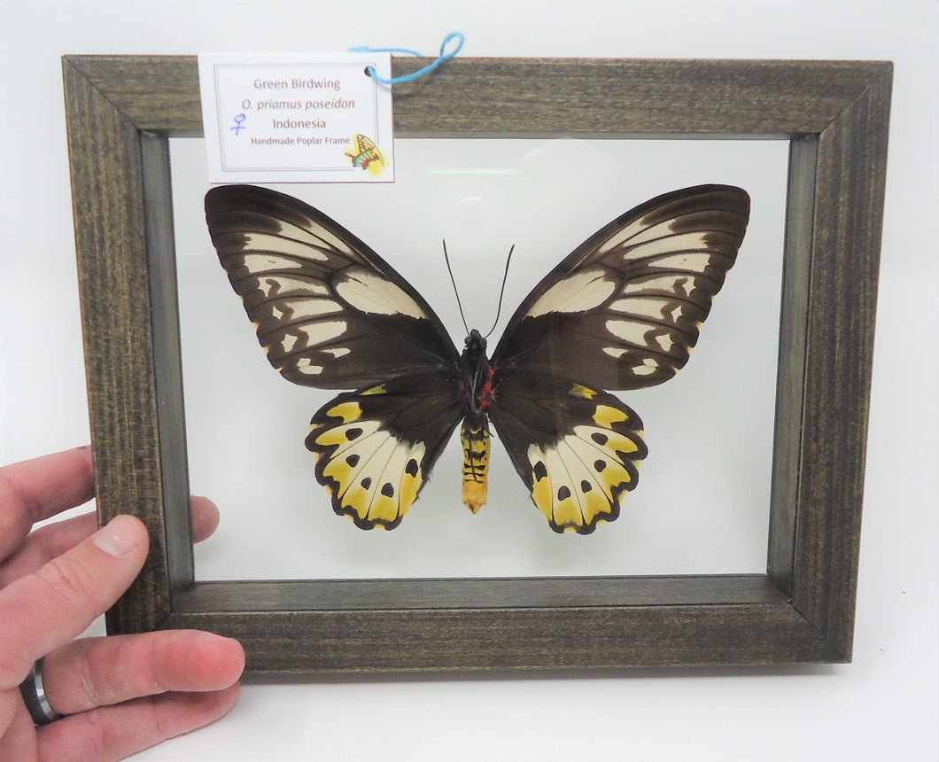 Green Birdwing (Female) Frame