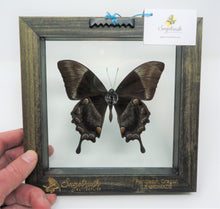 Blue Mountain Swallowtail Frame