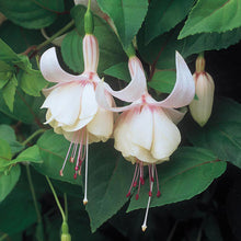 Trailing Fuchsia 'Annabel' Fuchsia in 9cm pot