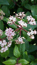 Virburnum 'Tinus' Evergreen Shrub 9cm