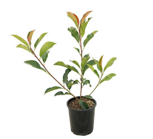 "Photinia ""Red Robin"" Evergreen Shrub 9cm"