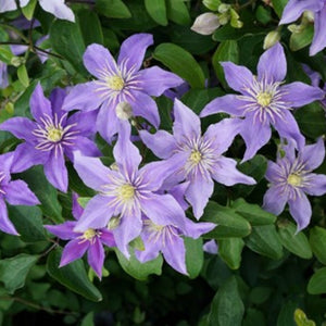 Clematis 'Justa' Hardy Climber in 9cm pot