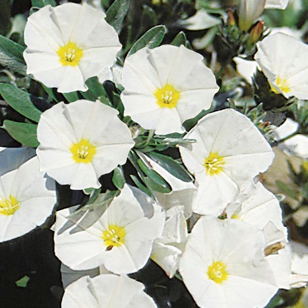 "Convolvulus ""Cneorum"" Evergreen Shrub 9cm"