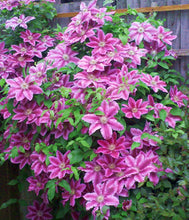 Clematis 'Dr Ruppel' Hardy Climber in 9cm pot