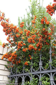 Pyracantha Orange Hardy Climber Plant in 9cm pot