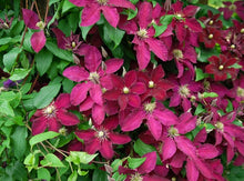 Clematis 'Ernest Markham' Hardy Climber in 9cm pot